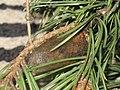 Dendrolimus pini - Pine-tree lappet (cocoon) - Сосновый шелкопряд (кокон) (40962630422).jpg