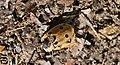 Dendroxena quadrimaculata-1.jpg