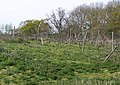 Derelict vineyard, Wellow - geograph.org.uk - 777762.jpg