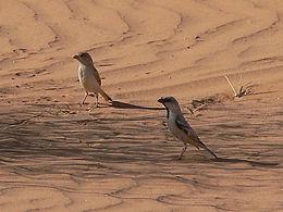 Desert sparrow pair