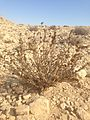 Desert vegetation near Makhtesh Ramon.jpg