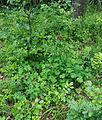 Detmold - 2014-06-13 - LIP-066 - Aquilegia vulgaris (02).jpg