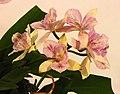 Diacattleya Chantilly Lace 'Twinkle' -台南國際蘭展 Taiwan International Orchid Show- (40822575751).jpg