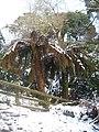 Dicksonia antarctica tree ferns in the snow - geograph.org.uk - 1149905.jpg
