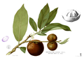 Diospyros blancoi Blanco1.109.png