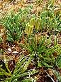 Diphasiastrum alpinum plant (21).jpg