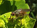 Diptera (8978735802).jpg
