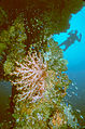 Diver and soft corals next to the mast of the Hoki Maru wreck, Truk Lagoon, Micronesia.jpg