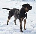 Dogo Español Arturo Norwegian Ch.jpg