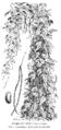 Dolique très hâtif à longue cosse Vilmorin-Andrieux 1904.png
