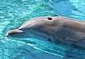 Dolphin 6 (15377637390).jpg