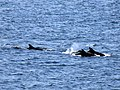 Dolphins on the Moray firth - geograph.org.uk - 809836.jpg
