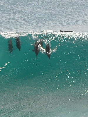 Animal locomotion - Dolphins surfing
