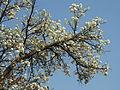 Dombeya rotundifolia, bloeityd, Moreletakloof NR, c.jpg