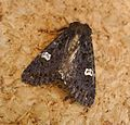 Dot Moth. Melanchra persicariae - Flickr - gailhampshire.jpg