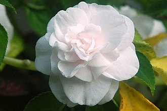 Double-flowered - A double-flowered cultivar of Impatiens walleriana.