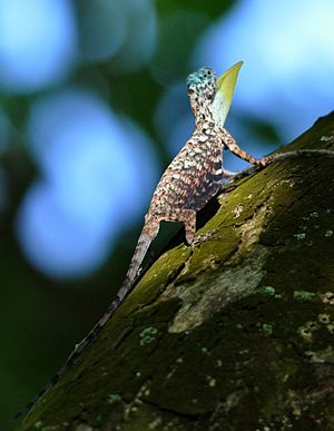 Draconinae - Common gliding lizard (Draco sumatranus), Singapore