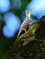 Draco sumatranus.jpg