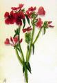 Drawing of Anastasia Nikolaevna of Russia.png