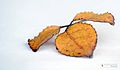 Dried leaves of Arelia.jpg