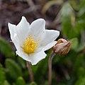 Dryas octopetala - fjällsippa-5533 - Flickr - Ragnhild & Neil Crawford.jpg