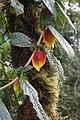 Drymonia hoppii (Gesneriaceae) (29605555751).jpg