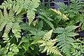 Dryopteris erythrosora 15zz.jpg