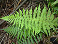 Dryopteris filix-mas Athyrium filix-femina Tannwald1.jpg