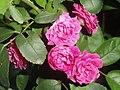 Dwarf Roses closeup at Madhurawada.jpg