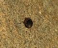 Dytiscidae sp - Flickr - S. Rae.jpg
