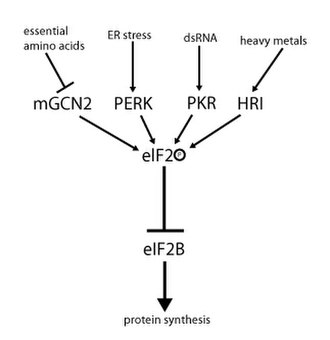 EIF2 - Regulation of translation initiation via phosphorylation of Ser51 in eIF2's α-sub-unit.