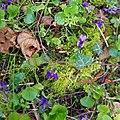 Early dog-violet 'Viola reichenbachiana' at Greenhill, Hatfield Broad Oak, Essex.jpg