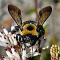 Eastern Carpenter Bee (Xylocopa virginica) (6355621717).jpg