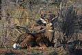 Eastern Oregon buck (23184708034).jpg