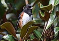 Eastern Towhee (male) (37732749381).jpg