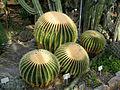 Echinocactus grusonii 2b.jpg