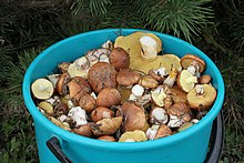 Edible fungi in bucket 2013 G2.jpg