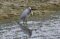 Egretta garzetta - Little egret, Adana 2016-11-12 07-1.jpg