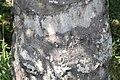 Elaeis guineensis 11zz.jpg