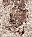 Elaeomyrmex gracilis UCM17009B head.jpg