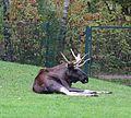Elch Alces alces Tierpark Hellabrunn-8.jpg