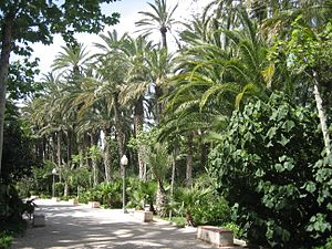 Palmeral of Elche - View of the palm trees in the Parque Municipal.
