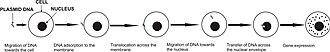 Electroporation - Gene electrotransfer