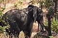 Elephant, Ruaha National Park (10) (28110221874).jpg
