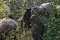Elephants by the roadside (7591398586).jpg