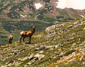 Elk in the high country (4842696774).jpg