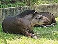 Em - Tapirus terrestris - 3.jpg
