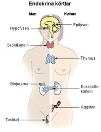 vad är endokrina organ