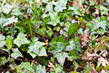 English ivy (25563313181).jpg