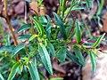 Epilobium anagallidifolium Closeup ValledeAlcudia.jpg